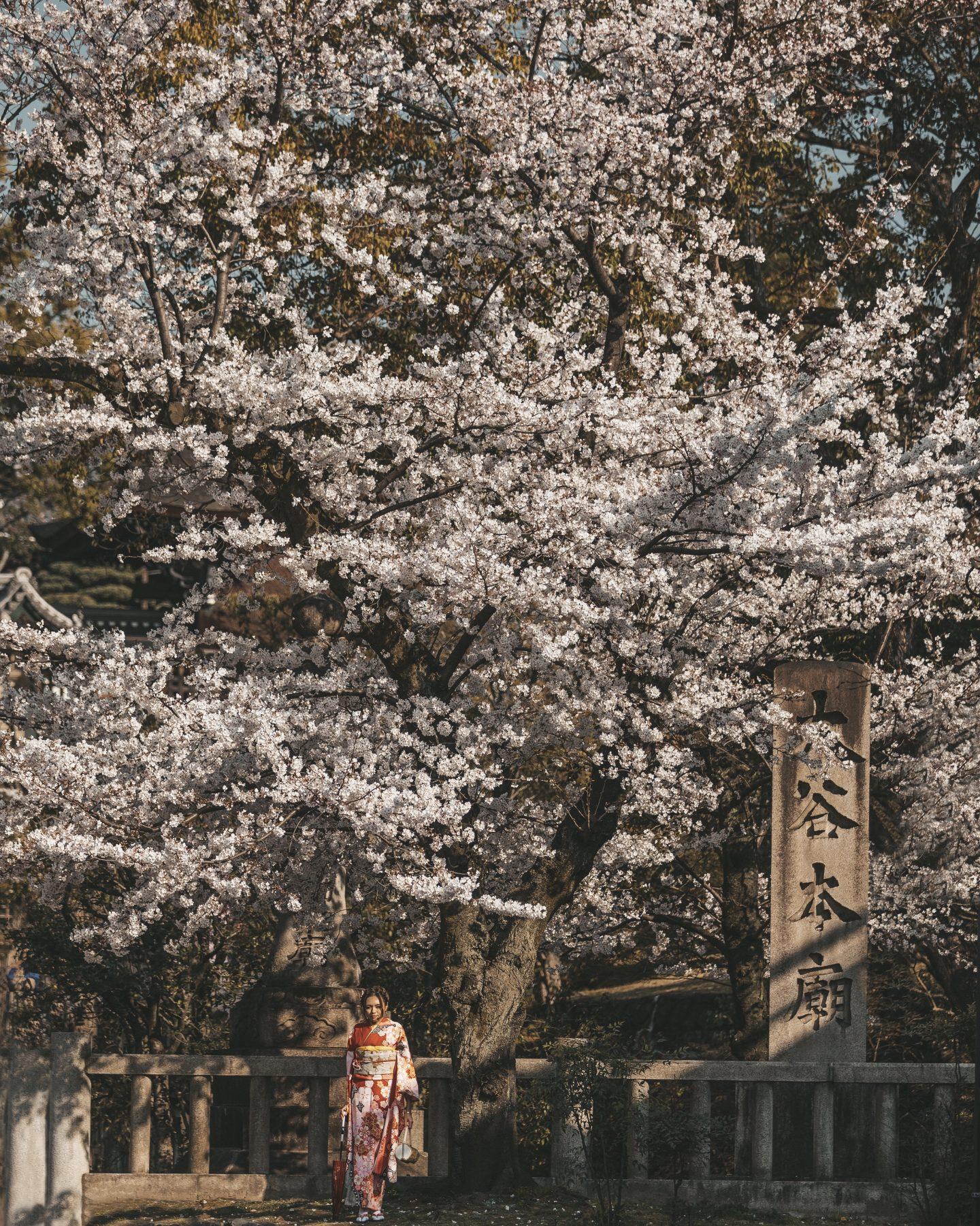shinogyo ward kytoto cherry blossoms